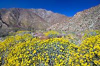 Wildflowers,  Anza Borrego Desert, California