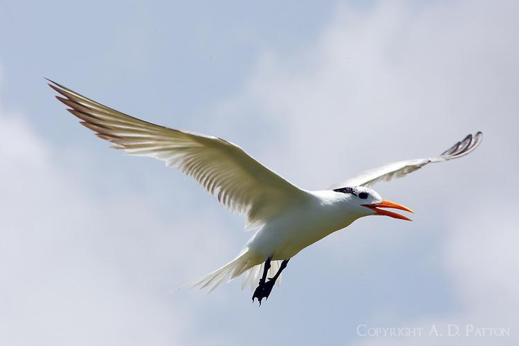 Royal tern in post-breeding plumage