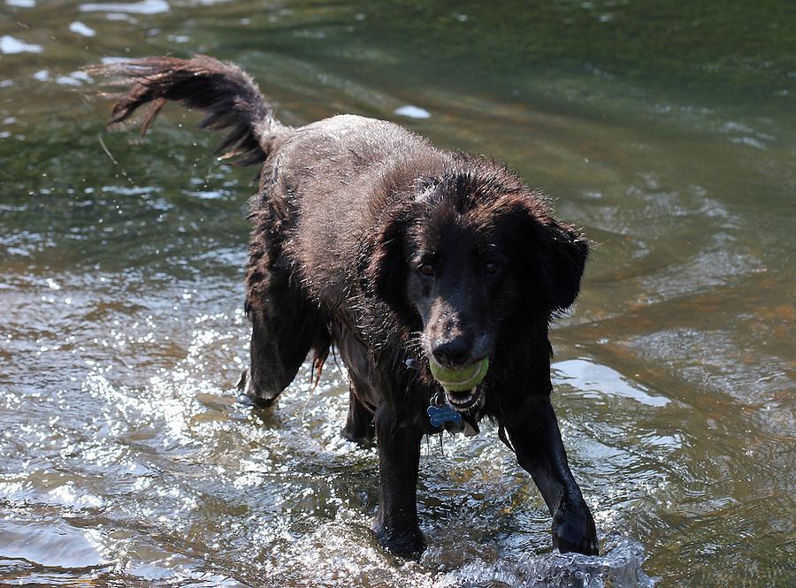 A happy dog retrieves his tennis ball in the Rivanna River in Charlottesvile, VA