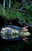 American Alligator and FL Red Belly Turtle basking in the early morning sun. Alligator mississippiensis