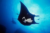 manta ray, Manta birostris, is cleaned of parasites by jacks at sea mount, San Benedicto, Revillagigedos (Socorro) Islands, Mexico, Pacific Ocean