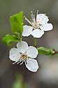 Siberian pear (Pyrus ussuriensis) in blossom, mid March.
