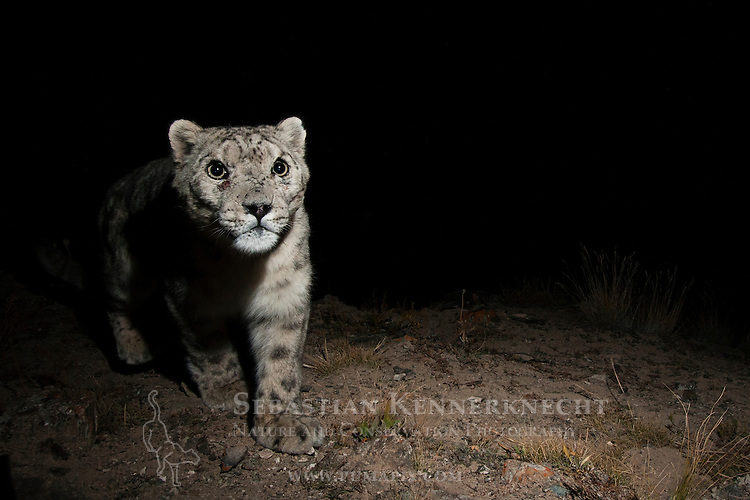 Snow Leopard (Panthera uncia) male at night, Sarychat-Ertash Strict Nature Reserve, Tien Shan Mountains, eastern Kyrgyzstan