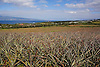 Maui Gold pineapples fields in the Kapalua area of Maui, Hawaii. Photo by Kevin J. Miyazaki/Redux