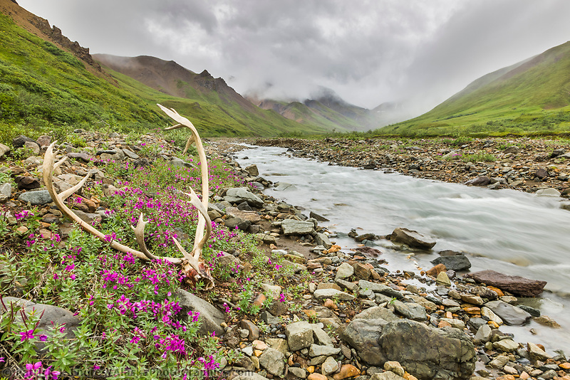 Bull caribou antlers along mountain stream in Denali National Park, Interior, Alaska.