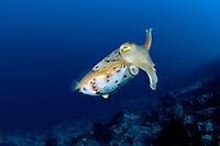 broadclub cuttlefish, Sepia latimanus, Lehi wall dive site, Siau Island, North Sulawesi, Indonesia, Pacific Ocean