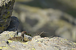 Rock Ptarmigan (Lagopus muta), Alps, Italy