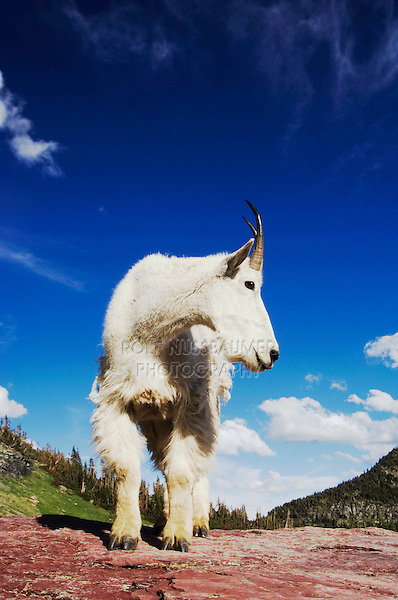 Mountain Goat,Oreamnos americanus,adult shedding winter coat, Glacier National Park, Montana, USA