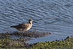 San Elijo Lagoon, San Diego, California; a Whimbrel (Numenius phaeopus) forages for food in the shallow water at the edge of the lagoon in late afternoon sunlight