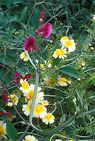 Layia platyglossa + Lathyrus sweetpeas in Woodnewton garden, annuals flowers mix