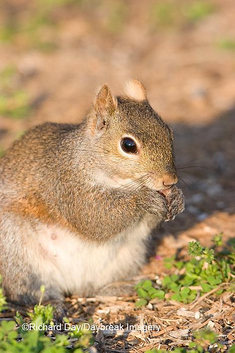 02010-004.05 Gray Squirrel (Sciurus carolinensis) eating seeds, Marion Co. IL