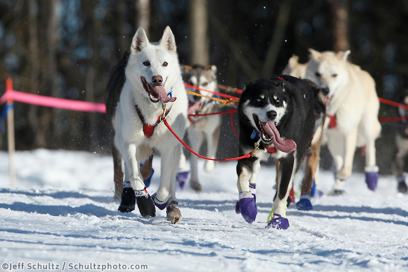 Marcelle Fressineau lead dogs running on the trail during the Iditarod 2014 Ceremonial start in Anchorage, Alaska.<br /> <br /> Iditarod Sled Dog Race 2014<br /> PHOTO (c) BY JEFF SCHULTZ/IditarodPhotos.com -- REPRODUCTION PROHIBITED WITHOUT PERMISSION