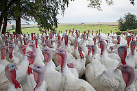 Free range turkeys; September, Lincolnshire