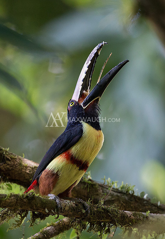 A Collared aracari swallows some food.