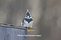 01186-01004 Belted Kingfisher (Ceryle alcyon) male sitting on wood duck nest box at wetland, Marion Co., IL
