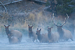 A bull elk wades through the Madison River and the mist with his small harem of cows, in Yellowstone National Park, Wyoming, USA, October 6, 2009.  Photo by Gus Curtis.