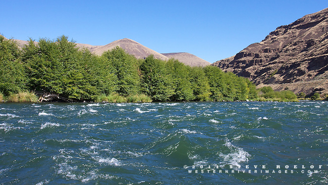 Alder trees along the lower Deschutes River.