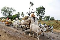 INDIA Maharashtra, cotton farming in Vidarbha region , farmer transport cotton with bullock cart to cotton market in Pandharkawada, Vidarbha has a high rate of farmer suicide due to debt crop failure of BT cotton and drought / INDIEN Maharashtra, Baumwollanbau in der Region Vidarbha , Bauern transportieren Baumwolle mit Ochsenkarren zum Baumwollmarkt in Pandharkawada , Region Vidarbha hat eine enorm hohe Rate von Bauernselbstmorde durch hohe Verschuldung fuer Saatgut Pestizide und Duenger , Ernteausfaelle von gentechnisch veraenderter Bt - Baumwolle durch Duerre und Wassermangel