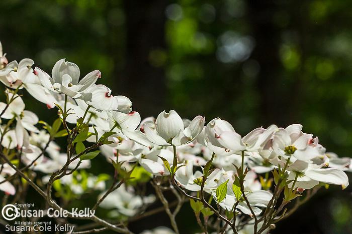 Dogwood blossoms at Maudslay State Park in Newburyport, Massachusetts, USA