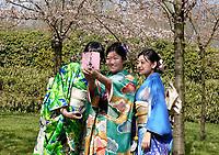Nederland Amstelveen - 2018. Cherry Blossom Festival in het Amsterdamse Bos . Het Japanse Hanami Matsuri (Kersenbloesem festival) markeert de start van de lente. Volgens traditie vieren families en vrienden dit met een picknick onder de kersenbomen die in bloei staan. De gemeente Amstelveen organiseert dit festival voor de Japanse gemeenschap, als dank voor de schenking van 400 kersenbomen in 2000. Selfie met bloesem.  Foto Berlinda van Dam / Hollandse Hoogte