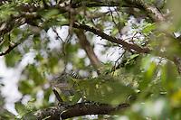 France/DOM/Martinique/Env Le Robert/Ilet Chancel: Femelle Iguane