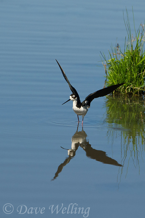 579500022 a wild black-necked stilt himantopus mexicanus stretches its wings in a pond in modoc national wildlife refuge california
