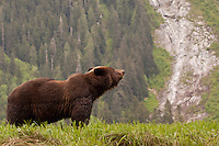 Grizzly Bear looking down the Khutzymateen Valley
