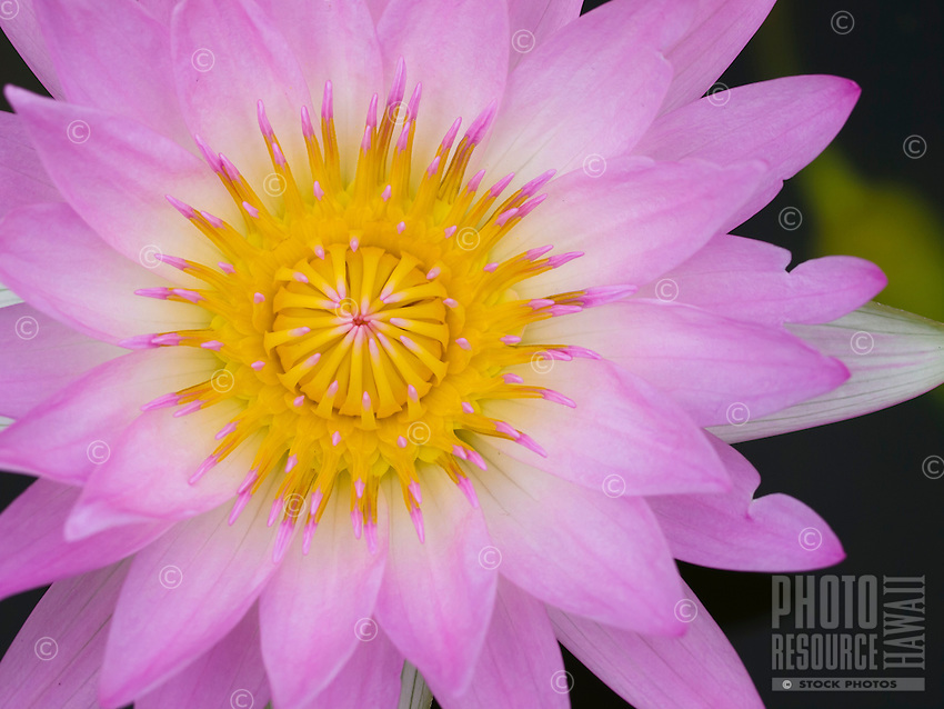 A close-up image of a pink water lily flower at Waikoloa, Big Island.