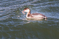 A horned grebe bobs to the surface after an apparently successful dive for food at the Martin Luther King Jr. Regional Shoreline in Oakland, California.