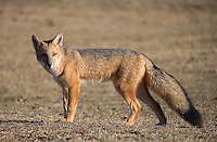 Culpeos are South America's second-largest canid, and look like a cross between a fox and a coyote.