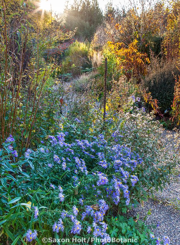 Aster 'Bill's Big Blue'  late flowering perennial Gary Ratway autumn garden border