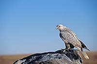 Gyrfalcon (Falco rusticolus)