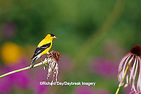 01640-14306 American Goldfinch (Carduelis tristis) male on Pale Purple Coneflower (Echinacea pallida) in flower garden, Marion Co. IL