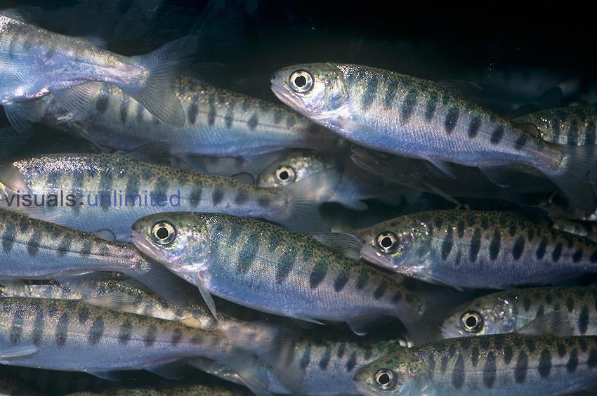 Coho or Silver Salmon (Oncorhynchus kisutch), North America.