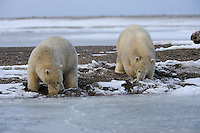 Two polar bear cubs explore the shoreline along a barrier island outside Kaktovik, Alaska. Every fall, polar bears gather near the community, on the northern edge of ANWR, waiting for the Arctic Ocean to freeze. The bears have become a symbol of global warming.