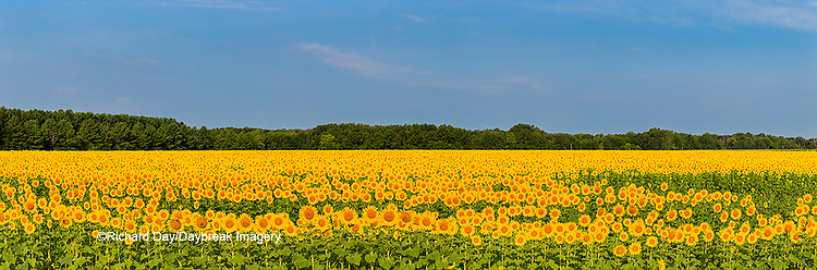 63801-06907 Sunflower field Sam Parr State Park Jasper County, IL