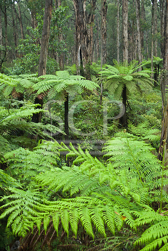 Phillip Island, Australia. Typical Austrailan undergrowth with ferns, grasses and trees.