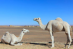 Two white dromedaries (camel) in the Sahara desert, Merzouga, Morocco.