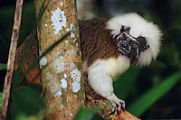 Cotton-top tamarin or Cotton-top Marmoset (Saguinus oedipus), range: Northern South America