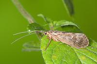 Köcherfliege, Halesus spec., caddis fly, caddisfly, caddy, Limnephilidae