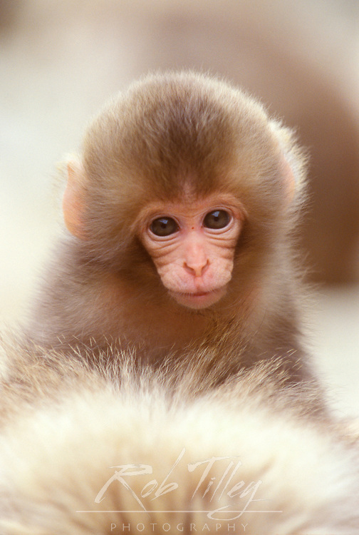 Japan, Nagano, Jigokudani, Snow Monkey Baby on Mother's Back, Japanese Macaque, (Macaca fuscata)