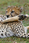 The pads on a cheetah's feet are tough and textured to provide traction, Masa Mara National Reserve, Kenya