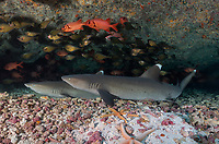 WM78763-Dr. Whitetip Reef Sharks (Triaenodon obesus) resting on bottom under a reef ledge, with Copper Sweepers (Pempheris oualensis) and soldierfish (Myripristis sp.) swimming above and behind. French Polynesia, Pacific Ocean. <br /> Photo Copyright © Brandon Cole. All rights reserved worldwide.  www.brandoncole.com