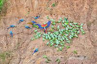 scarlet macaw, Ara macao, blue-and-yellow macaw, Ara ararauna, red-bellied macaw, Orthopsittaca manilatus, southern mealy amazon, Amazona farinosa, blue-headed parrot, Pionus menstruus, and yellow-crowned amazon, Amazona ochrocephala, at clay lick, Tambopata National Reserve, Madre de Dios Region, Tambopata Province, Peru, Amazonia