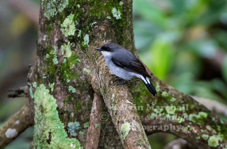 Mangrove robin (Peneoenanthe pulverulenta) is a species of bird in the family Petroicidae. It is found in the Aru Islands, New Guinea and northern Australia. The bird's common name refers to its natural habitat. They live in mangrove forests and seldom fly outside these biomes.