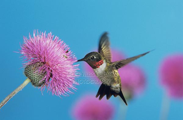 Ruby-throated Hummingbird, Archilochus colubris,male feeding on Texas Thistle (Cirsium texanum) , Welder Wildlife Refuge, Sinton, Texas, USA
