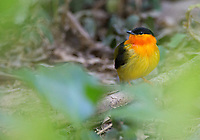 I'm happy every time I see Orange-collared manakins lekking in Carara National Park.