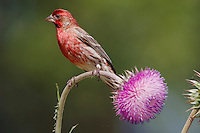 House Finch, Carpodacus mexicanus, adult male on thistle, Hill Country, Texas, USA