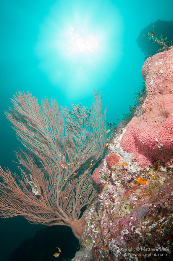 Sea of Cortez, Baja California, Mexico; a large Gorgonian (Muricea sp.) sea fan growing alongside several pink barrel sponges on a rocky reef, with a sun burst overhead