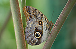 The forest giant owl is an owl butterfly tribe Brassolini of nymphalid subfamily Morphinae, ranging from Mexico, through Central America, to the Amazon River basin in South America.